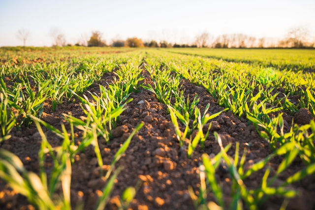 Jak zapewnić skuteczną ochronę upraw ziemniaków?